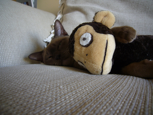 Revver Monkey sleeping with asi's cat